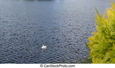swan bird lake water - white swan bird swim in ripple dark...