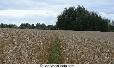 ripe wheat field tree