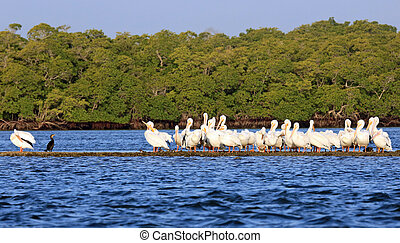 American white pelican - Flock of American white pelicans...