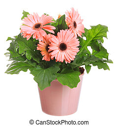 Gerber's flowers in a flowerpot isolated on a white...