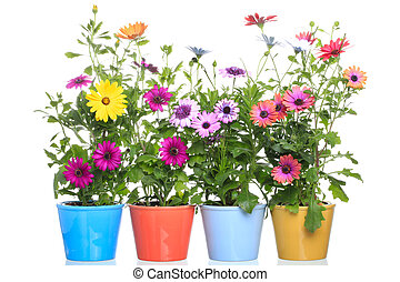 Colorful Pot with Colorful African daisy (Dimorphoteca)...