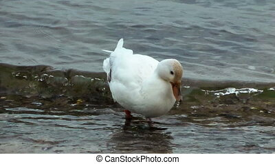 Beautiful white duck