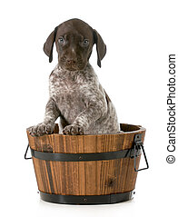 puppy bath - german shorthaired pointer in a wash basin...
