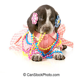 female puppy - german short haired pointer puppy dressed up...