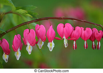 Bleeding Hearts from the garden.