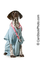 german short-haired pointer vet - german short-haired...