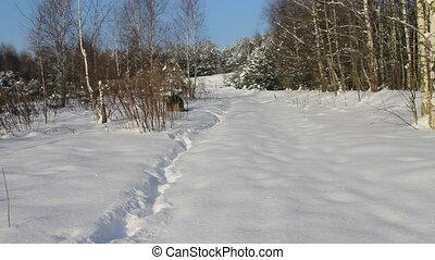German Shepherd Dog at winter