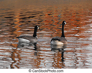 Canadian Geese - These two Canadian geese are swimming at...