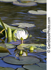 Lily flower on a evening on the floodplain lakes. - Lily...