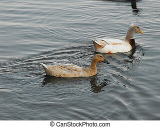 Ducks Swimming - Some ducks swimming in the Waterloo Lake in...