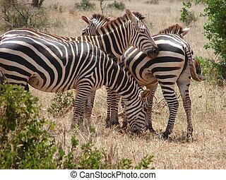 Masai Zebras - Zebras in the bush of Tsavo National Park...