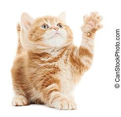 British playing kitten cat isolated - One Playing british...
