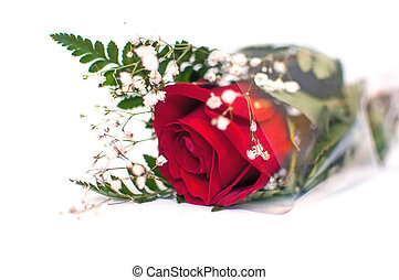 red rose - White background