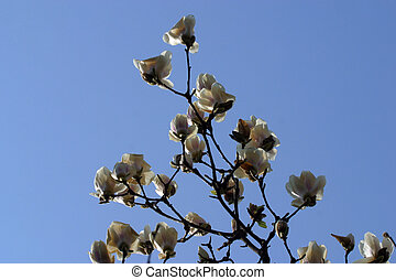 Blossoming magnolia