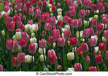Colorful tulips in spring