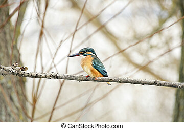 Common kingfisher - A common kingfisher sitting on a tree