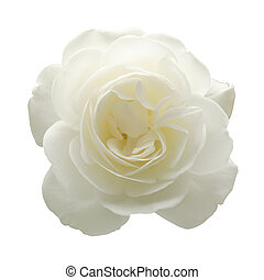 Isolated white rose - A white rose isolated on a white...