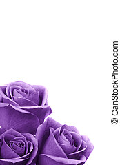Romantic Roses - Beautiful purple roses