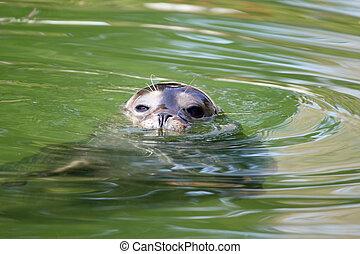 seal in water wildlife scene