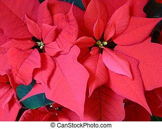 Pointsettia - Red pointsettia (Euphorbia pulcherrima)...