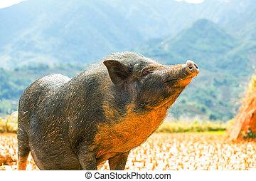 vietnamita, porca