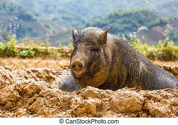 Vietnamese pig