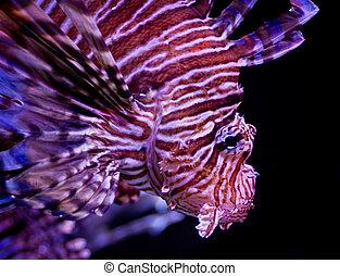 lion fish - Detail of a lion fish