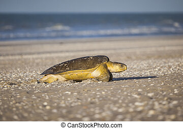 turtle at the beach - A turtle at 80 mile beach in Australia