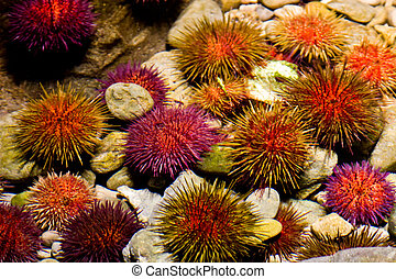 sea urchin - group of a sea urchins