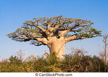 Baobab tree, Madagascar - Baobab tree from Madagascar