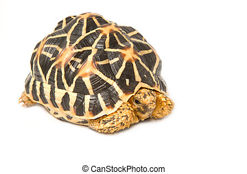 Indian Starred Tortoise eating on white backgroung