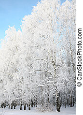 Russian winter in birch grove on blue sky background