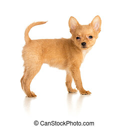 Russian toy terrier puppy isolated on white