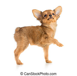 Russian toy terrier puppy looking up