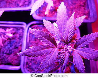 Cannabis Amnesia autoflovering - Cannabis Sativa LED growing...