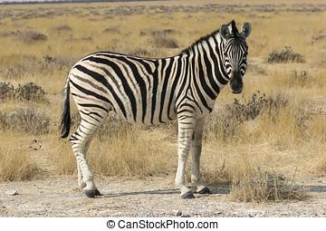 Burchells zebra (Equus quagga burchellii)