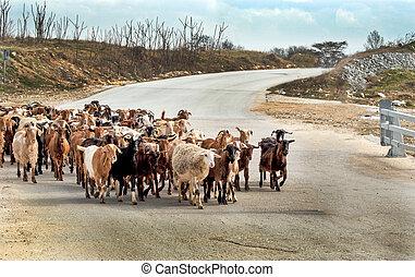 Cretan goats on the road