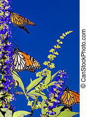 Monarch Migration - Three Monarch Butterflies on their...