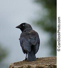 Jackdaw - Corvus monedula - Portait image of a wild Jackdaw...
