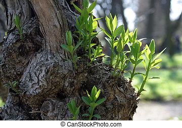 primavera, hojas, en ciernes, nuevo, vida