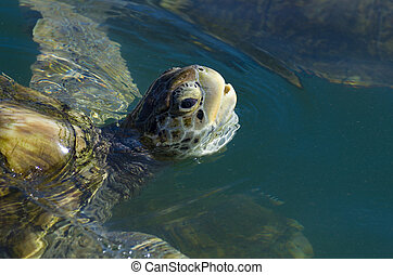 Green Sea Turtle - Lovely green sea turtle seen swimming on...