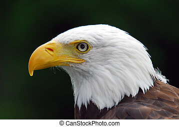 American Bald Eagle - Portrait of a majestic American Bald...