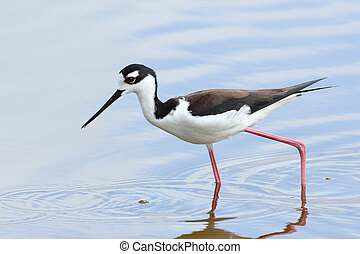 Black-necked Stilt - Everglades National Park, Florida