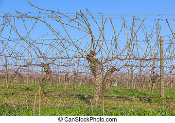vineyard in winter time  with blue sky