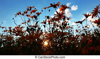 sunset - summer sunset in the flowers