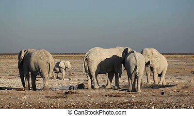 African elephants at waterhole - African elephants Loxodonta...