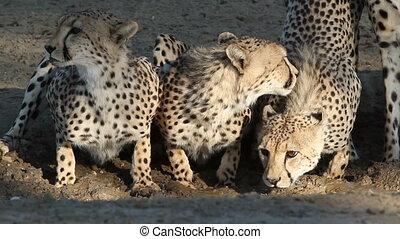 Cheetahs drinking water - Alert cheetahs (Acinonyx jubatus)...