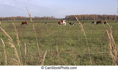 cows on autumn field