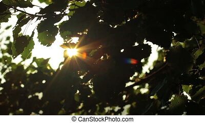 foliage - sunlight through the leaves