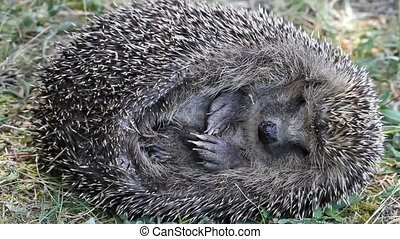 Sleeping hedgehog - Teasing sleeping hedgehog and its...